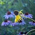Yellow  And Purple Coneflowers by Evelina Charpentier