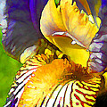 Yellow And Purple Iris by Peggy Gabrielson