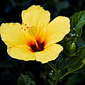 Yellow And Red Hibiscus by Christi Kraft