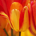 Yellow And Red Striped Tulips by Rona Black