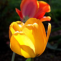 Yellow And Red Tulips by Anne Cameron Cutri