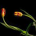 Yellow And Red Tulips On Black - Reaching Out by Leah McDaniel