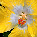 Yellow And White Hibiscus by Dave Mills