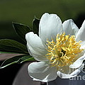 Yellow And White Peony Flower by Kenny Glotfelty