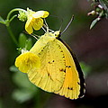 Yellow And Yellow Sulphur Butterfly by Travis Truelove