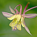 Yellow Aquilegia Bloom by Heiko Koehrer-Wagner