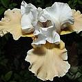 Yellow Bearded Iris by M Schanen