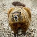 Yellow-bellied Marmot   #5300 by J L Woody Wooden
