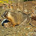 Yellow-bellied Marmot by Anthony Mercieca