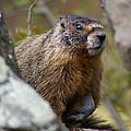 Yellow-bellied Marmot by Ben Upham III