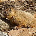 Yellow Bellied Marmot Checking Out The Neighborhood In Rocky Mountain National Park by Fred Stearns