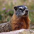 Yellow Bellied Marmot by Marty Fancy