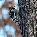 Yellow Bellied Sapsucker by Charles Owens