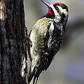 Yellow Bellied Sapsucker by Meg Rousher