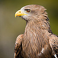 Yellow-billed Kite by Chris Smith