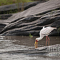 Yellow-billed Stork Fishing In River by John Shaw