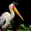 Yellow Billed Stork Peers At Camera by Imran Ahmed