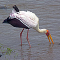 Yellow Billed Stork by Tony Murtagh
