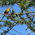 Yellow Bird In A Juniper Tree by Barbara Griffin