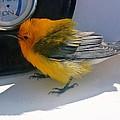 Yellow Bird  by Kristina Deane