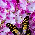 Yellow Black Butterfly On Hydrangea by Garry Gay