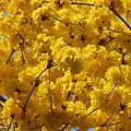 Yellow Blossoms Of A Tabebuia Tree by Denise Mazzocco