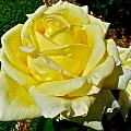 Yellow Bob Berry Rose by Denise Mazzocco
