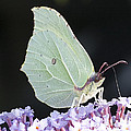 Yellow Brimstone by Richard Thomas