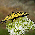 Yellow Butterfly 2 by Nick Kirby