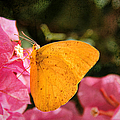 Yellow Butterfly by Mariola Bitner