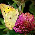 Yellow Butterfly On Pink Clover by Cassie Peters