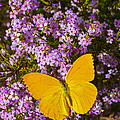 Yellow Butterfly On Pink Flowers by Garry Gay