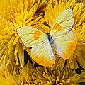 Yellow Butterfly On Yellow Mums by Garry Gay