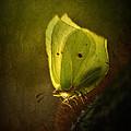 Yellow Butterfly Sitting On The Moss  by Jaroslaw Blaminsky
