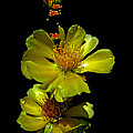 Yellow Cactus Flowers And Buds by Susan Duda