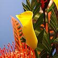 Yellow Calla Lilies by Jennifer Ancker