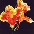 Yellow Canna by Gary  Hernandez