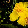 Yellow Canna Singapore Flower by Donald Chen