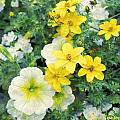 Yellow Cascade by Sylvia Thornton