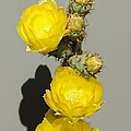 Yellow Cactus Flowers by Douglas Miller