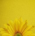 Yellow Chrysanthemum by Vishwanath Bhat