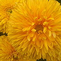 Yellow Chrysanthemums by Stefan Silvestru