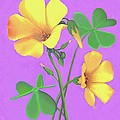 Yellow Clover Flowers