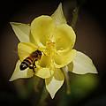 Yellow Columbine by Ernie Echols
