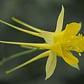 Yellow Columbine by Steve Seeger