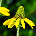Yellow Cone Flower by Alan Hutchins