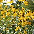 Yellow Cone Flowers by Carol Groenen