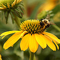 Yellow Coneflower And Bee by TnBackroadsPhotos