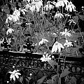 Yellow Coneflowers Echinacea Wrought Iron Gate Bw by Rich Franco