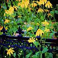 Yellow Coneflowers Echinacea Wrought Iron Gate by Rich Franco